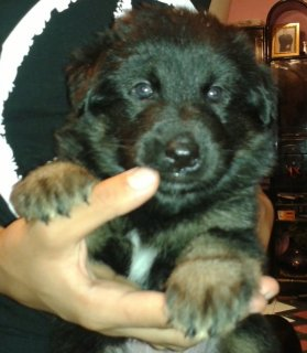 .German Shepherd Puppies For Sale