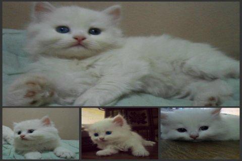 2 قطط ( ذكر و انثى ) شيرازى