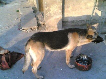 كلب بلاك جاك بلجيكي شرس جدا جدا وضخم جدا
