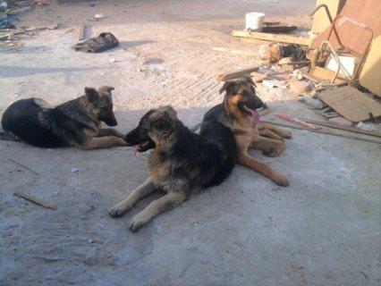 كلاب جيرمن للبيع بيوور