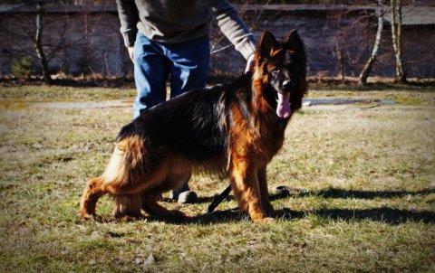جراوي | كلاب للبيع | كلاب