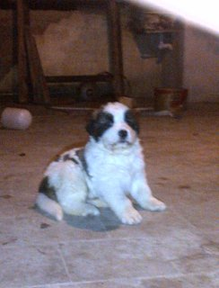 كلاب قوقازى (كوكيجن ) للبيع