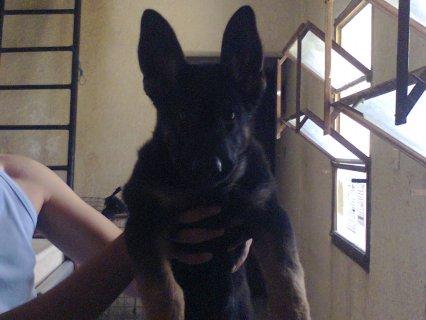 كلب جيرمن 3 شهور