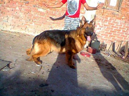 كلب بلجيكى بيور