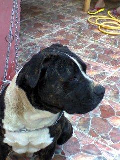 كلب بيتبول خطير