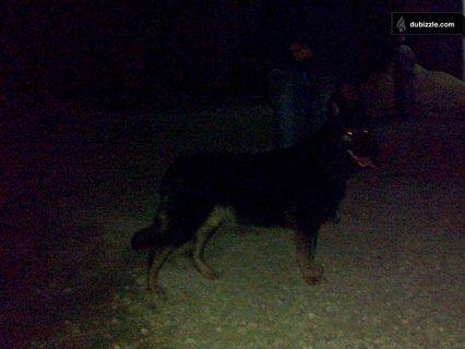 german shepherd (جرمن شيبرد )
