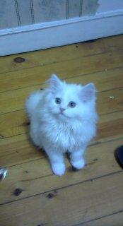 قطط شيرازى للبيع مون فيس بوينت اورانج