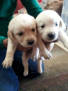 For sell golden puppies 65 Days for more info. Call 01004865565
