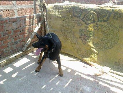 ;كلب للبيع راد