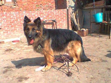 كلب بلجيكى بيور للبيع