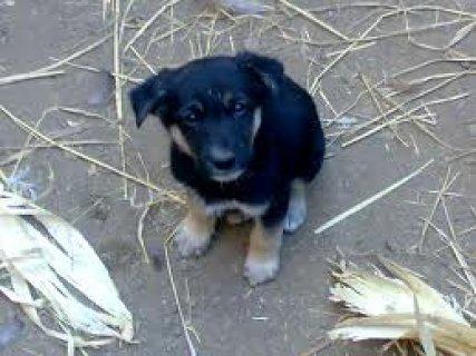 عين شمس كلاب بلاك جاك شعبى  نتاية  شرسة عمرها  شهرين