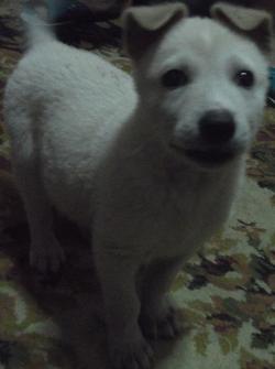 Female Cross Bread Puppy ( Golden Labrador Retriever )