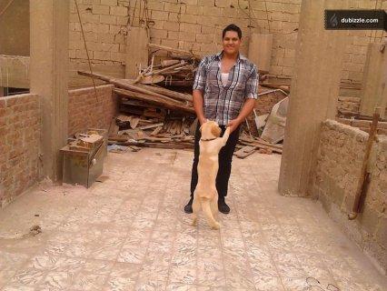 كلب لابرادور  نتاية حكاية 3 شهور