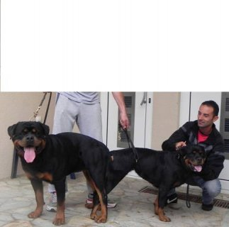 Impotred Rottweiler puppies for reservation