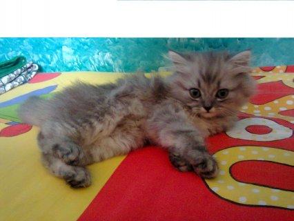 للبيع قط شيرازي عمر شهرين تحفة