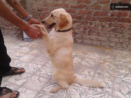 كلب لابرادور  نتاية