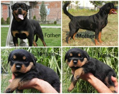 for Reservation,, imported rottweiler puppies from serpia ,, wit