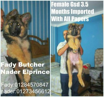 Best Female gsd imported with all papers