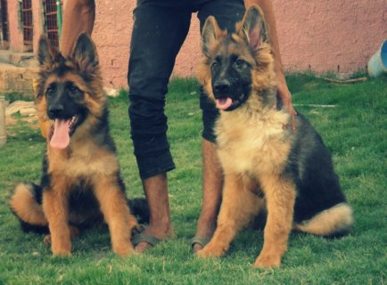 for sale imported german shepherd puppies