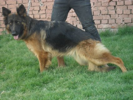 for sale ... one of the best German shepherd  females in Egypt