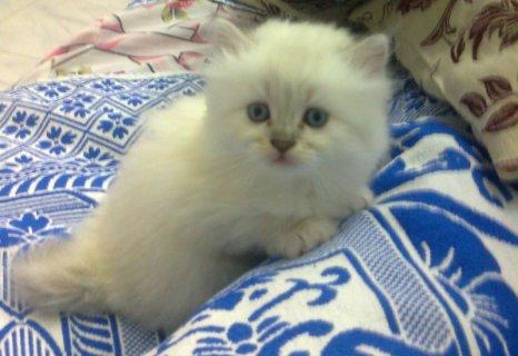 قطط شيرازي الاسكندريه