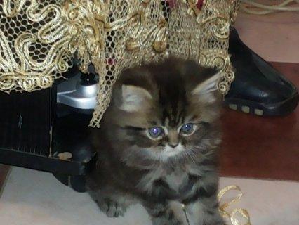اجمل قطتان هيمالايا و تايجر