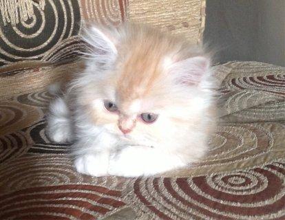 للبيع قطة هاف بيكى عمر شهر ونص