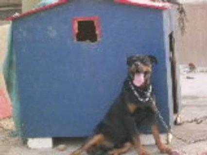 كلب رود فيلر للبيع بسعر ممتاز جدا 2013