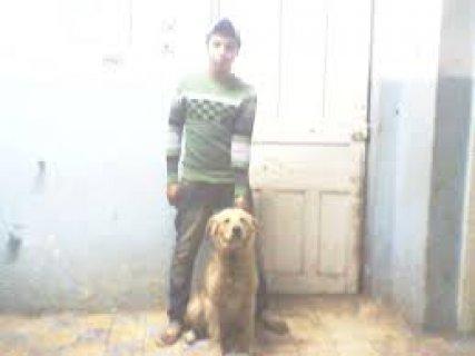 كلب جولدن سعر مغرى  جنية900