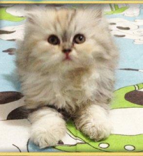لبيع قطة هاف بيكى ترتيلا عمر شهر ونص