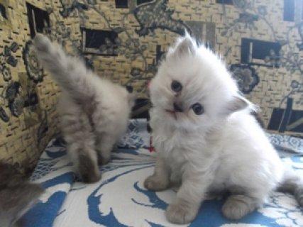 اجمل قطط هيمالاى بلو للبيع