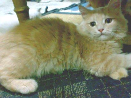 قطة شيرازى عمر 5 شهور ونص