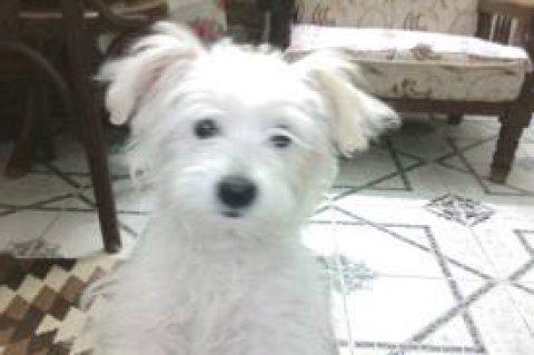 مطلوب كلب لولو ذكر لون ابيض