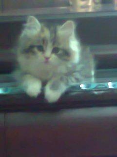Kailoky قطط شيرازى للبيع