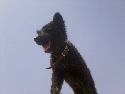 كلب بلجيكي