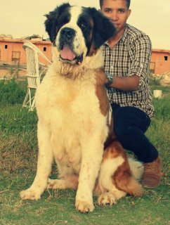 female saint bernard 2 year and 6 months in heat less than1 week
