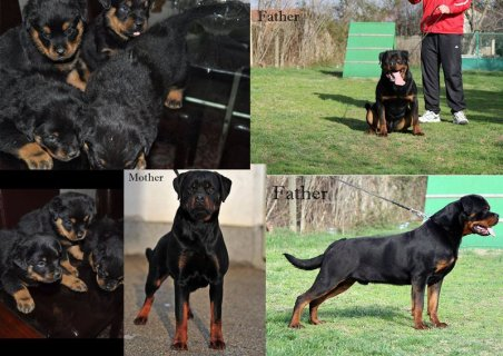 PUPPIES AVAILABLE FROM (PITON FLASH ROUSE X VEGA POP ROTT)