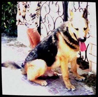 كلب المانى