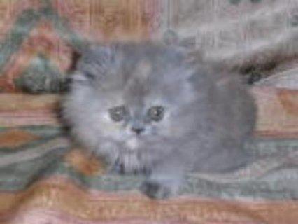 قطط شيرازي للبيع بسعرمغري جدا 2013
