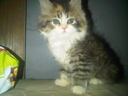 قطه كاليكو للبيع