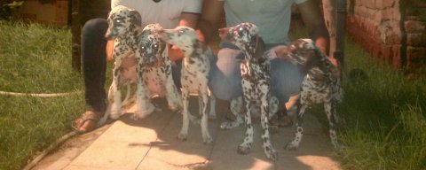 5dalmatian puppies , parents came from ukrainian