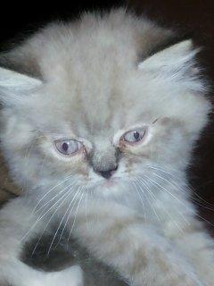 اجمل قطان هيمالايا و تايجر عمر شهرين