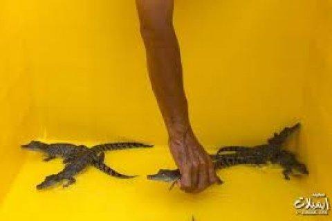 مطلوب تمساح صغير سريعااا