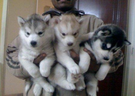 سيبيريا كلب الأسكيمو الجراء للبيع