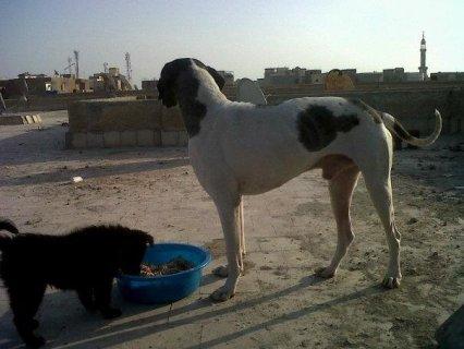 كلب بوينتر عندو سنة و ثلاثة اشهر