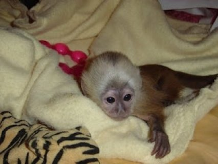 capuchin monkey babies for sale