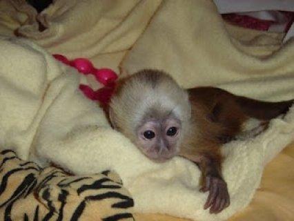 capuchin monkey babies for sale
