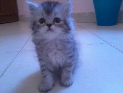 احلى قطة شيرازى بيور للبيع