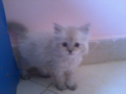 2 قطة شيرازى للبيع