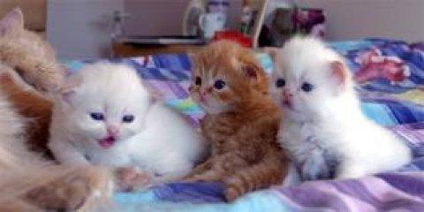 قطط شيرازي مون فيس